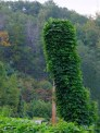 kudzu covering a power pole
