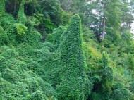 Kudzu (Pueraria lobata)