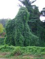 giant kudzu covered tree