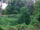 kudzu on ground and trees
