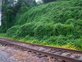 kudzu sprayed along railroad tracks