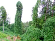 trees covered with kudzu