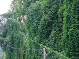 kudzu growing on cables