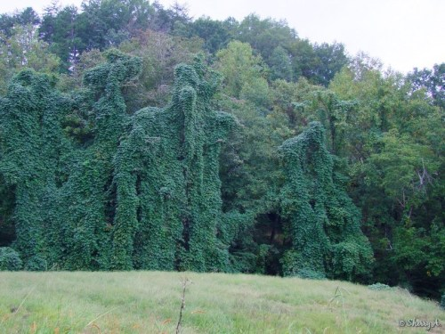 kudzu covered trees