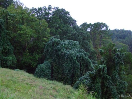 kudzu covering trees