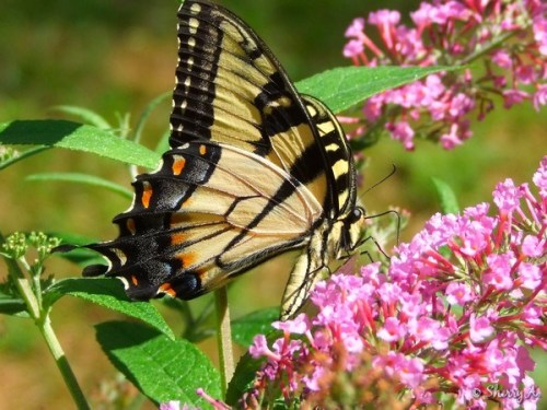 tiger swallowtail on buddlea