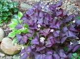 purple shamrocks