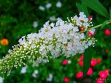 white buddlea