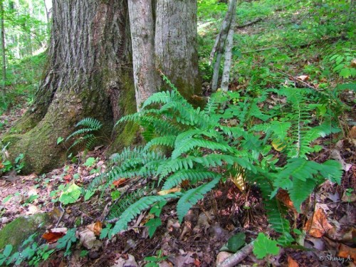 native ferns