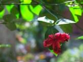 strawberry bush, hearts a'burstin' tree