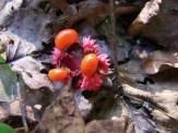 strawberry bush seeds