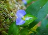 wild blue spiderwort