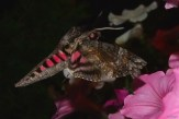 side view of pink spotted hawk moth