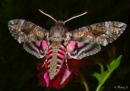 pink striped hummingbird moth