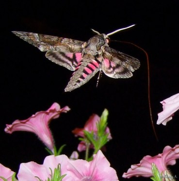 pink striped hawk moth in flight