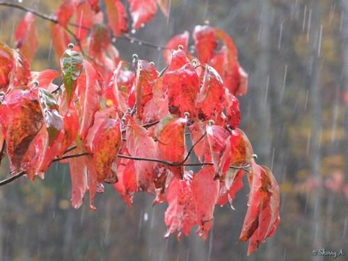 dogwood leaves in the rain