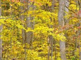 pawpaw, spicebush and maple leaves