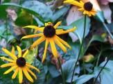 black-eyed susans still blooming