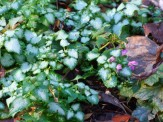 lamium with late flowers