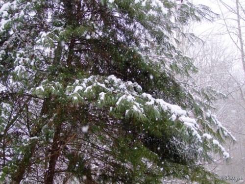snowy white pine