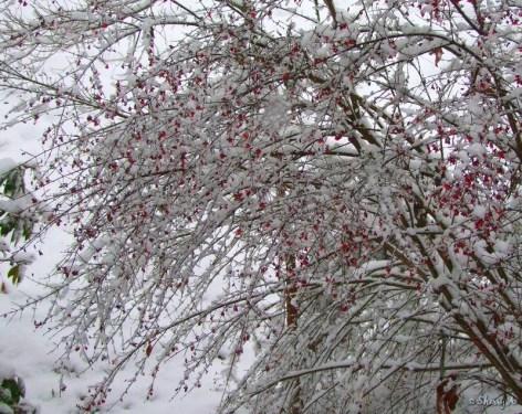 snowy burning bush
