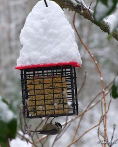 a chickadee on suet feeder