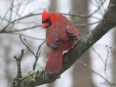 cardinal in dogwood tree