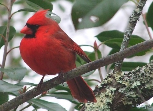 cardinal and red tip shrub