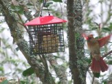 female cardinal coming to suet feeder