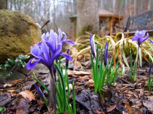 iris in secret garden