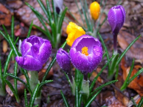 crocus in bloom