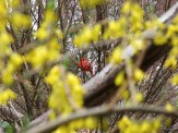 cardinal through the flowers
