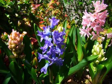 hyacinths blooming