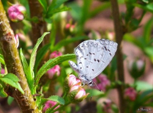 butterfly and flowering almond