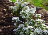 candytuft and West Virginia White butterfly