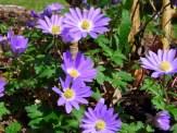 anemones under butterfly bush