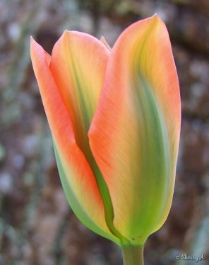 orange and green tulip