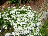 white creeping phlox