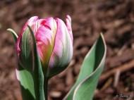 Double Flowering Tulip 'Eternal Flame'