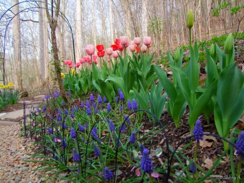 tulips and muscari