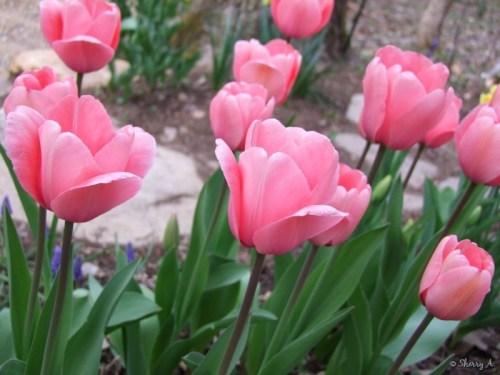 Darwin pink
