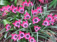 dwarf species tulips