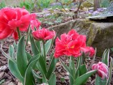 double flowering tulips with variegated foliage