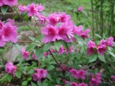 pink azalea in edge of woods