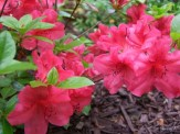 red azalea in secret garden