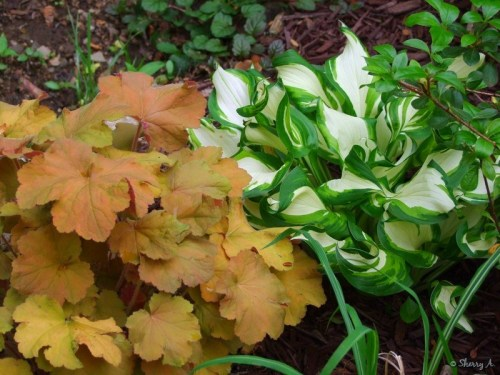 heuchera and hosta