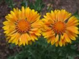 gallardia flowers
