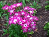 Annual Phlox 'Twinkle Star Mix' (Phlox drummondii)