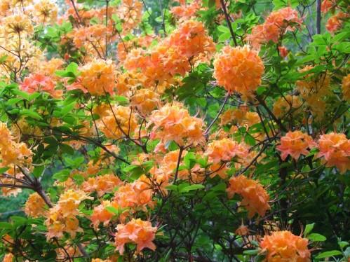Flame azalea blooms