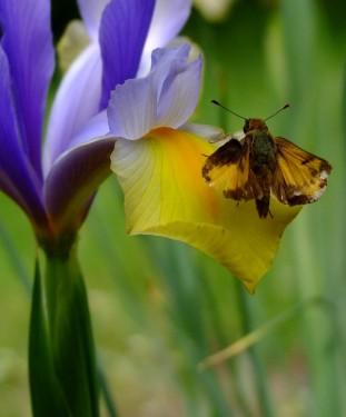 dutch iris and orange skipper
